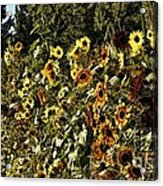 Sunflower Fields Forever Acrylic Print by Peggy Hughes