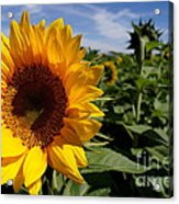 Sunflower Glow Acrylic Print by Kerri Mortenson