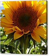 Sunflower Highlight Acrylic Print by Kerri Mortenson