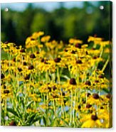 Sunflower Patch Acrylic Print by John Ullrick