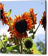Sunflower Symphony Acrylic Print by Karen Wiles