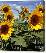 Sunflowers Acrylic Print by Kerri Mortenson