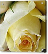 Sunkissed Yellow Rose Acrylic Print by Danielle  Parent
