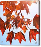Sunlight On Red Leaves Acrylic Print by Natalie Kinnear