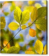 Sunlit Autumn Leaves Acrylic Print by Natalie Kinnear