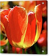 Sunlit Tulips Acrylic Print by Rona Black