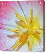 Sunrise Tulip Acrylic Print by Felicia Tica
