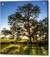 Sunset Oak Acrylic Print by Scott Norris