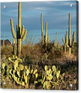 Sunset On The Saguaros Acrylic Print by Sandra Bronstein