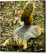 Surprise Mister Squirrel Acrylic Print by Shawna Rowe