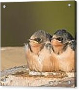 Swallow Chicks Acrylic Print by Yeates Photography