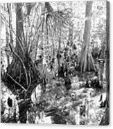 Swampland Acrylic Print by Carey Chen