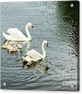 Swan Family Acrylic Print by Jim  Calarese