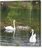 Swan Family Squared Acrylic Print by Teresa Mucha