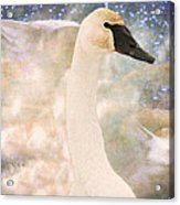 Swan Journey Acrylic Print by Kathy Bassett