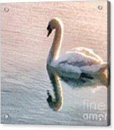 Swan On Lake Acrylic Print by Pixel  Chimp