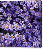 Sweet Dreams Of Purple Daisies Acrylic Print by Carol Groenen