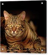 Tabby Tiger Cat Acrylic Print by Renee Forth-Fukumoto