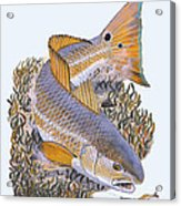Tailing Redfish Acrylic Print by Carey Chen