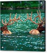 Talbot Lake Elk Acrylic Print by Terry Elniski