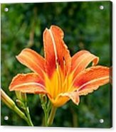 Tangerine Lily Acrylic Print by Will Borden