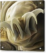 Tardigrade Or Water Bear Foot Sem Acrylic Print by Science Photo Library
