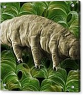 Tardigrade Or Water Bear Acrylic Print by Science Photo Library