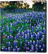 Texas Bluebonnet Field Acrylic Print by Inge Johnsson