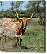 Texas Longhorns Acrylic Print by Christine Till