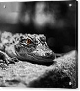 The Alligator's Eying You Acrylic Print by Linda Leeming