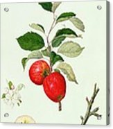 The Belle Scarlet Apple Acrylic Print by Barbara Cotton