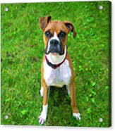 The Boxer Acrylic Print by Donna Doherty