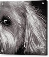 The Dog Next Door Acrylic Print by Bob Orsillo