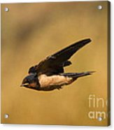First Swallow Of Spring Acrylic Print by Robert Frederick