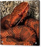 The Florida Cottonmouth Acrylic Print by JC Findley