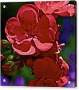 The Geraniums Acrylic Print by Gwyn Newcombe