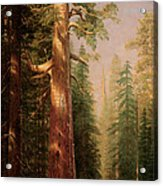 The Great Trees Mariposa Grove California Acrylic Print by Albert Bierstadt