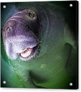 The Happy Manatee Acrylic Print by Karen Wiles