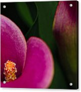 The Heart Of The Lily Acrylic Print by Christi Kraft