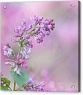 The Lilac Acrylic Print by Kay Pickens