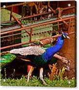 The Peacock Acrylic Print by Leslie Heemsbergen