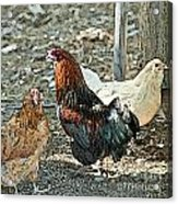 The Rooster And His Hens Acrylic Print by Artist and Photographer Laura Wrede