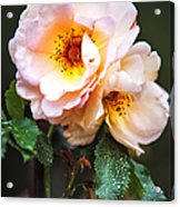 The Rose With Your Name. Park Of De Haar Castle Acrylic Print by Jenny Rainbow