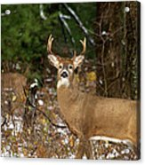 The Rutting Whitetail Buck Acrylic Print by Thomas Young