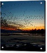 The Swarm Acrylic Print by Matt Molloy