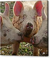 The Three Little Pigs Acrylic Print by Steven  Michael