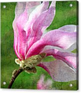 The Windblown Pink Magnolia - Flora - Tree - Spring - Garden Acrylic Print by Andee Design