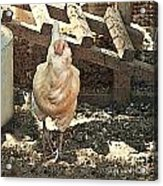 There's  A Chicken In The Hen House Acrylic Print by Artist and Photographer Laura Wrede