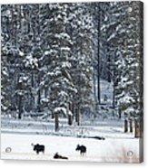 Three Bull Moose Acrylic Print by Deby Dixon