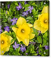 Three Daffodils In Blooming Periwinkle Acrylic Print by Adam Romanowicz